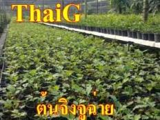 แปลงปลูกผัก ต้นจิงจูฉ่าย ที่ThaiG